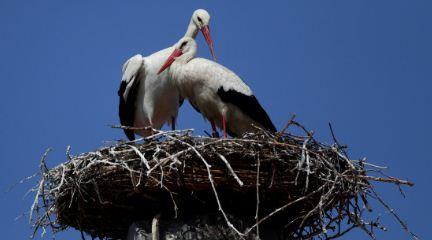 Nacen en el Reino Unido las primeras cigüeñas blancas en la naturaleza en varios siglos