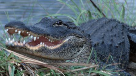 La rápida reacción de un padre salva a su hija del ataque de un enorme caimán