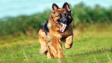 Muere el primer perro al que diagnosticaron coronavirus en EEUU
