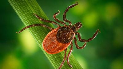 Registran los primeros casos de dos raras enfermedades transmitidas por garrapatas en Reino Unido