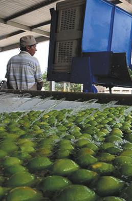 Totaí Citrus luego de 20 años reduce sus operaciones