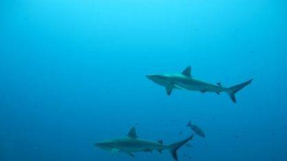 Revelan-que-los-tiburones-tienen-una-vida-social-secreta-hasta-ahora-desconocida