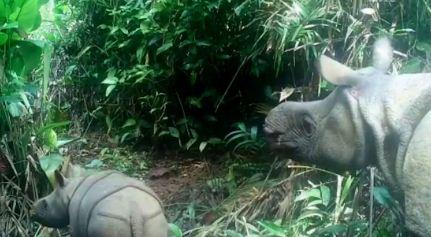 Captan a dos crías de rinoceronte de Java, especie al borde de la extinción