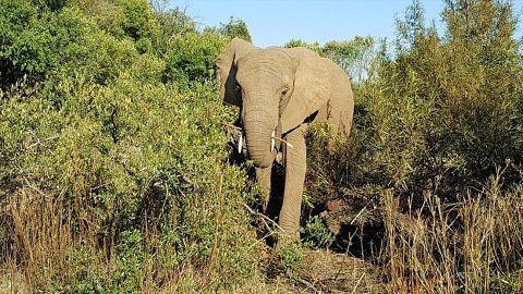 Queman-vivo-con-una-tela-en-llamas-a-un-elefante-