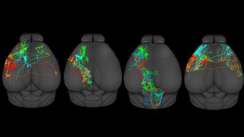 Crean por primera vez un mapa de la corteza motora del cerebro, responsable del movimiento de los mamíferos