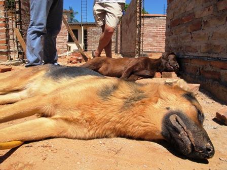 Envenenan-a-perros-de-raza-para-robar-en-construccion