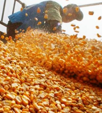 Bolivia-tiene-deficit-en-produccion--de-maiz