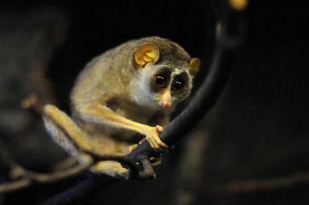 Descubren-una-nueva-especie-de-primate-nocturno-