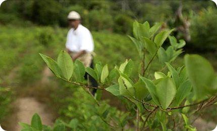 Peru,-a-un-paso-de-igualar-a-Colombia-en-hectareas-de-cultivo-de-coca