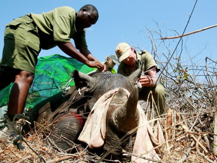 La-caza-de-rinocerontes,-un-especialidad-criminal-sumamente-organizada