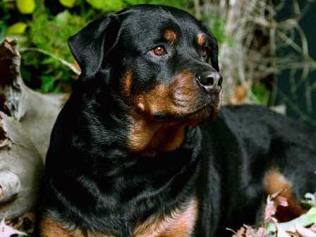 Marchan-para-defender-a-los-perros-pitbull-y-rottweiler