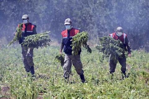 Policia-paraguaya-y-brasilena-destruyen-34-hectareas-de-marihuana