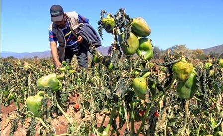 Granizada-afecta-a-cultivos-en-los-valles