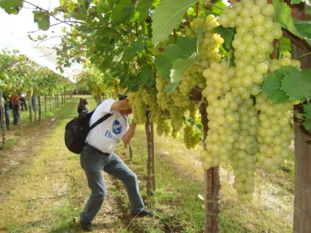 Apuntan-a-duplicar-los-cultivos-de-uva