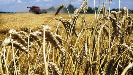 Bolivia-produce-30%-del-trigo-que-consume