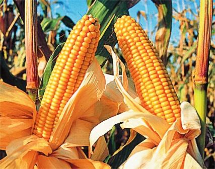 Para-mejorar-la-produccion-del-maiz