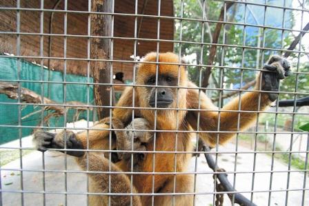 Especie-de-mono-en-peligro-de-extincion-nace-en-el-Zoo