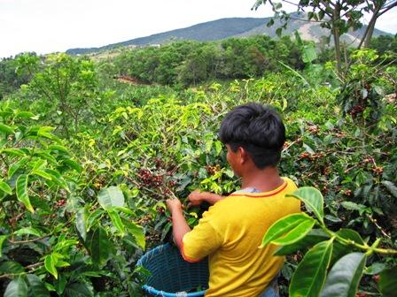 Exportacion-de-cafe-crecio-11%-desde-2008