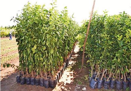 Aumenta-la--produccion-de-citricos