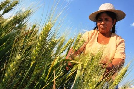 Burocracia-frena-aumento-en-la-produccion-de-trigo