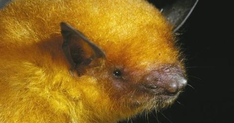 Descubren-nueva-especie-de-murcielago-en-Bolivia-