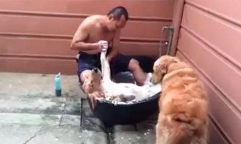 Un-perro-que-se-relaja-mientras-lo-banan-