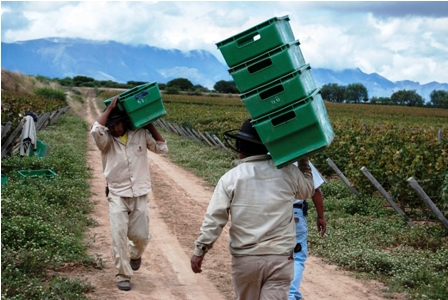 Viticultores-esperan-producir-15%-mas
