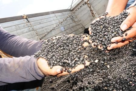 Santa-Cruz-produce-el-95%-del-frejol-que-se-exporta