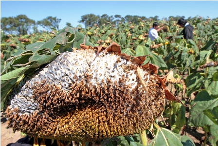 El-cultivo-de-girasol-sigue--en-declive