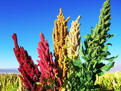 Bolivia-incrementa-exportaciones-de-quinua-en-21.000-toneladas