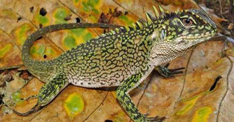 Descubren-tres-nuevas-especies-de--dragones--enanos-