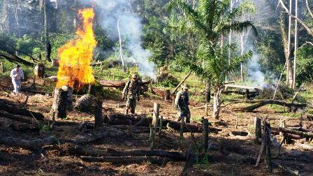 Queman-plantaciones-enormes-de-marihuana-