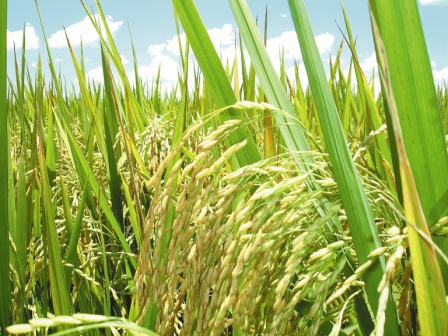 Piden-al-Gobierno-proteger-la-produccion-nacional-de-arroz