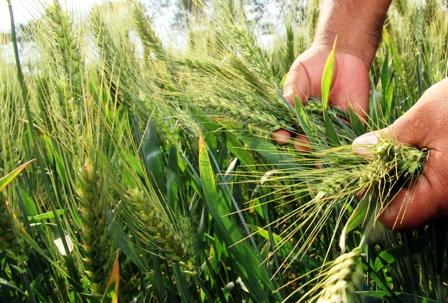 Anapo-pide-proteccion-para-la-produccion-de-trigo