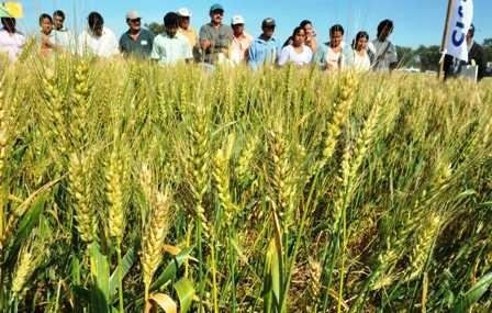 En-riesgo-180.000-toneladas-de-trigo-por-falta-de-mercado