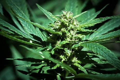 Aprueban-proyecto-para-legalizar-la-marihuana