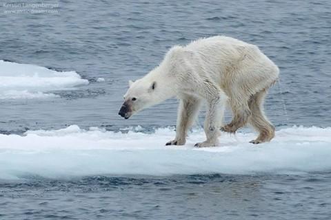 Imagen-de-oso-polar-desnutrido-alerta-sobre-su-realidad