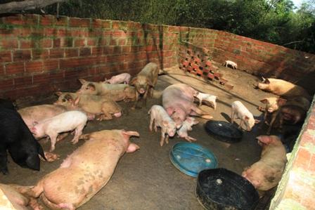 Se-incrementa-la-produccion-de-carne-de-cerdo