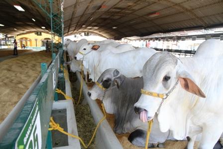 Apuntan-a-Ecuador-como-mercado-de-genetica-bovina