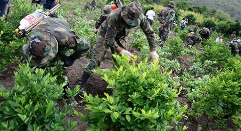 Bolivia-fija-meta-minima-de-5.000-hectareas-de-hoja-de-coca-erradicadas-para-2016