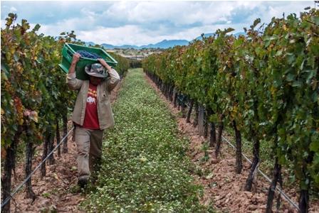 Se-prohibe-importar-uva-desde-este-mes
