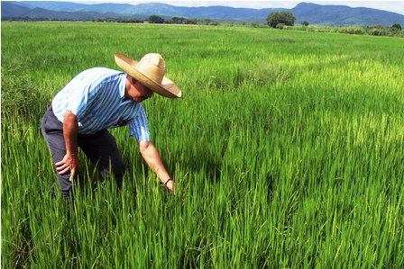 Siembra-de-arroz--se-reduce-en-20%