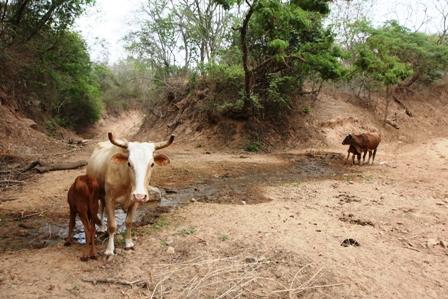 Reportan-muerte-de-700-reses-por-sequia-en-el-Chaco