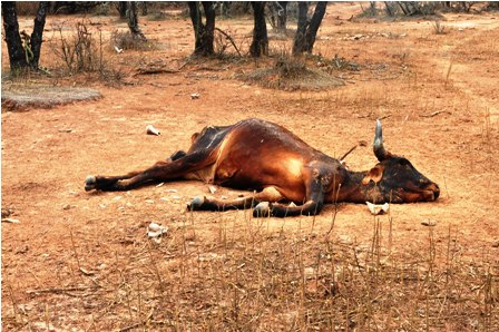 mueren más de 20 mil reses por la devastadora sequía