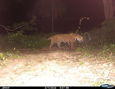 Reciben-denuncias-de-un-jaguar-que-anda-suelto-por-la-G77