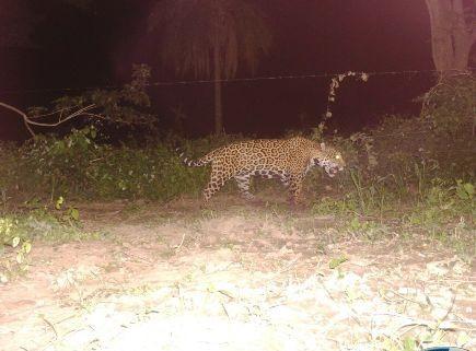 Capturan-imagen-de-Jaguar-adulto-en-la-avenida-G77