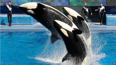 SeaWorld-anuncia-el-final-de-la-reproduccion-de-orcas-en-cautividad