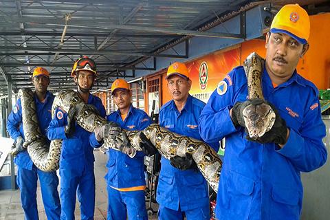 Hallan-en-Malasia-una-piton-gigante-de-250-kilos-y-7,5-metros-de-largo