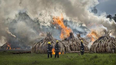 Kenia-destruye-la-mayor-cantidad-de-marfil-de-la-historia