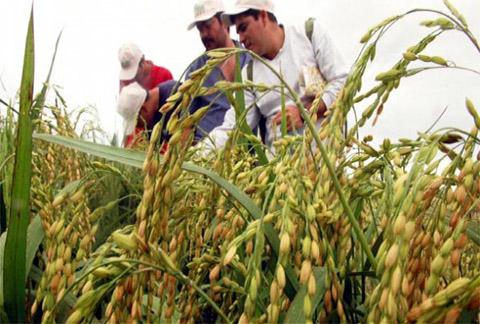Produccion-de-arroz-cayo-en-30%-por-plagas-y-sequia